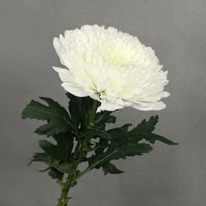Condolences Flowers=Net Mum
